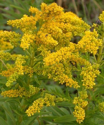 Nebraska state flower.