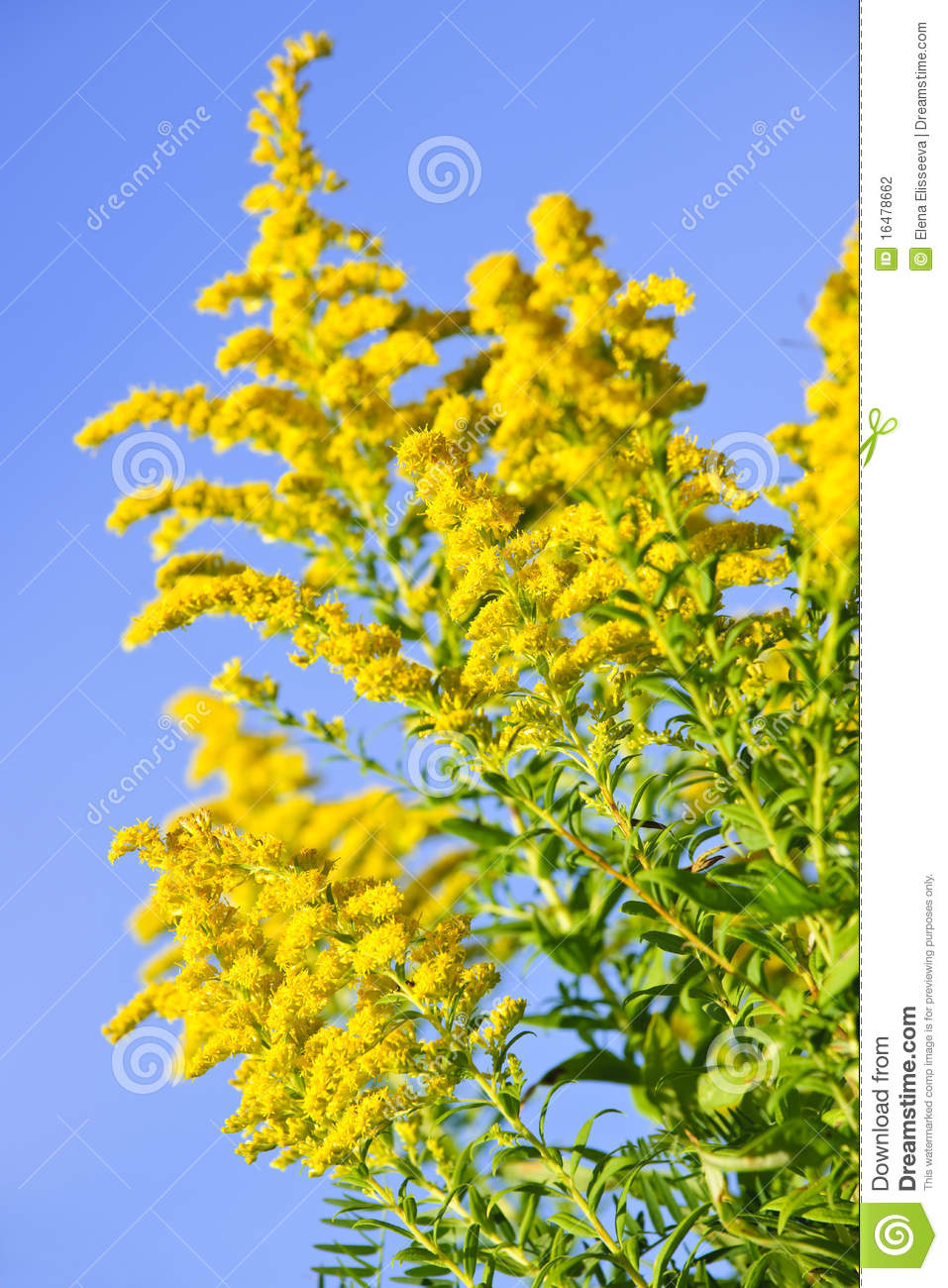 Goldenrod Plant Stock Photography.