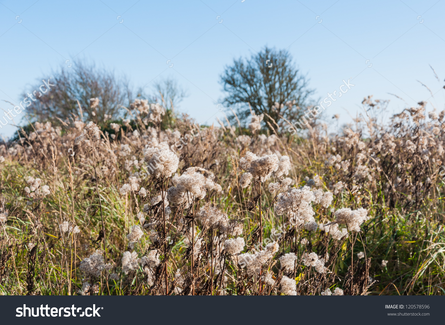 Fluffy Seed Heads At Dry Goldenrod Plants In A Natural Reserve.
