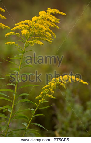 Goldenrod Plant.