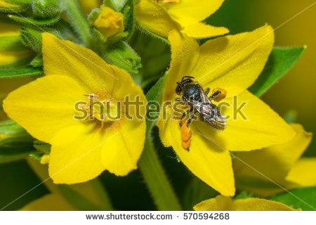 Loosestrife Stock Photos, Royalty.