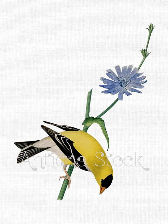 Bird Clipart PNG Image 'American Goldfinch' Yellow Bird Botanical.