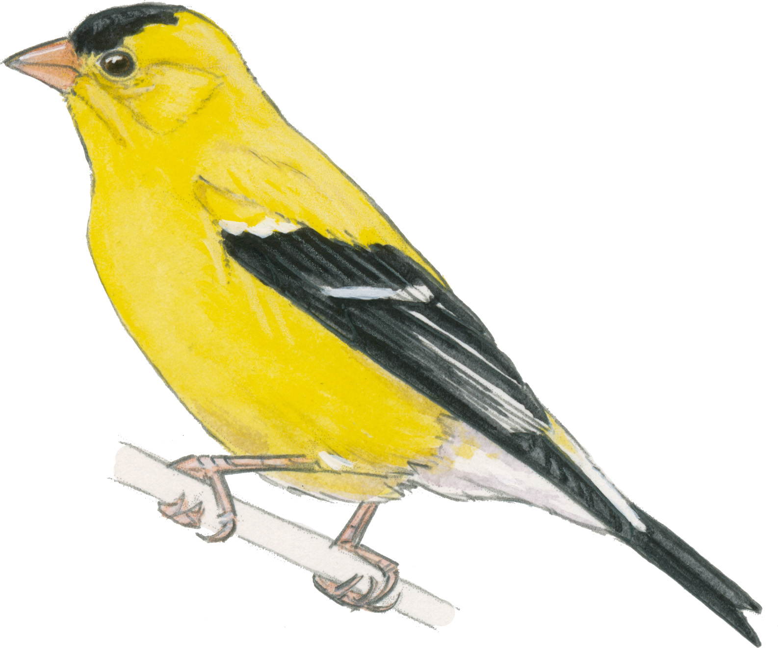 1000+ images about Goldfinch on Pinterest.