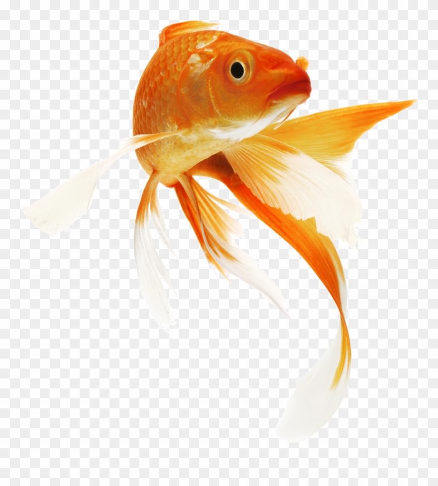 Goldfish Transparent Png Clipart (#2782901).