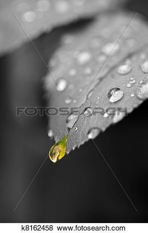 Pictures of la pluie d'or {Gold Rain} k8162458.