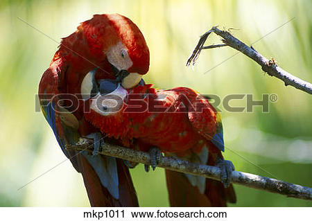 Stock Photography of Scarlet Macaw [Ara macao] pair at play, pets.