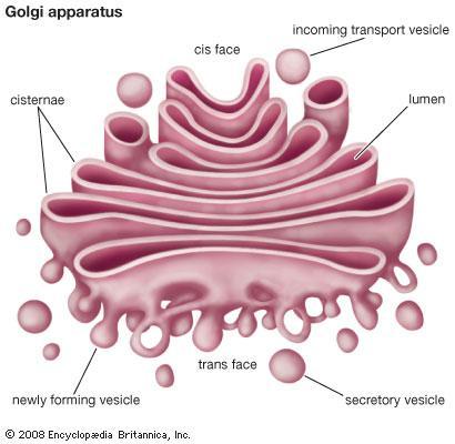 Golgi Apparatus In A Cell.