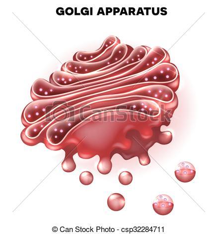 Vector Clip Art of Golgi apparatus a part of the eukaryotic cell.