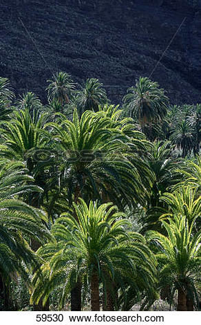 Stock Photography of Palm trees in forest, Valle Gran Rey, La.