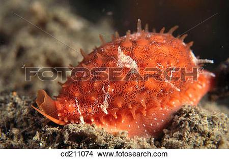Stock Photo of Red cowrie (Cypraeidae sp.). Papua New Guinea.