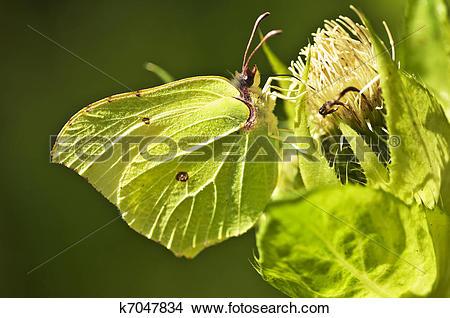 Stock Photo of brimstone butterfly, Gonepteryx rhamni k7047834.
