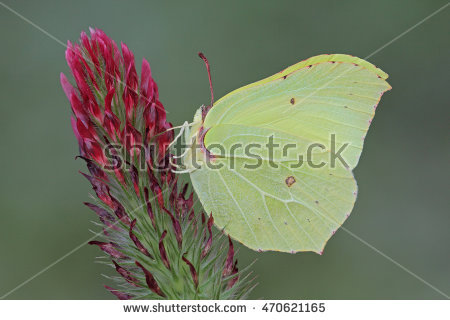 Brimstone Butterfly Stock Photos, Royalty.