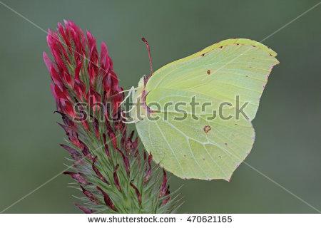 Brimstone Butterfly Stock Photos, Royalty.