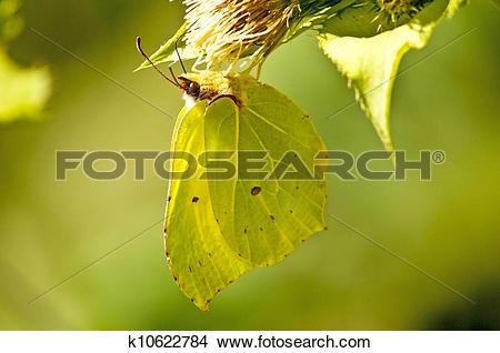 Stock Photo of brimstone butterfly, Gonepteryx rhamni k10622784.