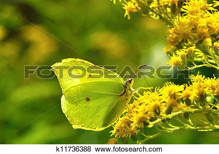 Pictures of Beautiful butterfly(Gonepteryx rhamni) k11736388.