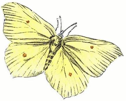 Brimstone Gonepteryx rhamni.