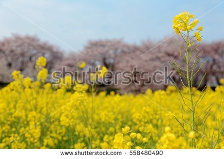 Rapeseed Flower Isolated Stock Photos, Royalty.