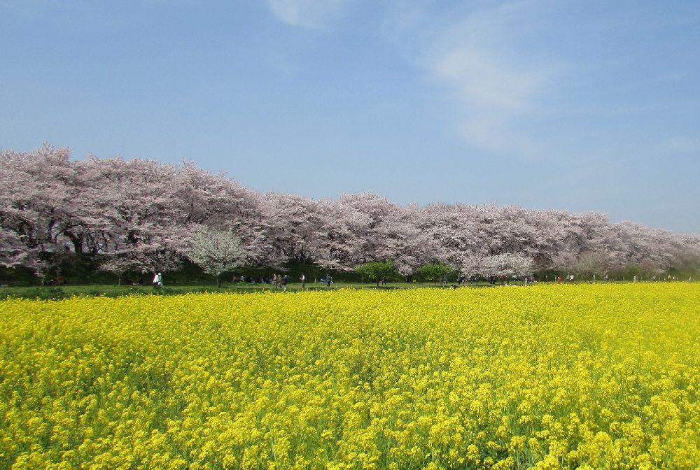 Cherry tree information of Sakurazutsumi, Gongendo, Satte.