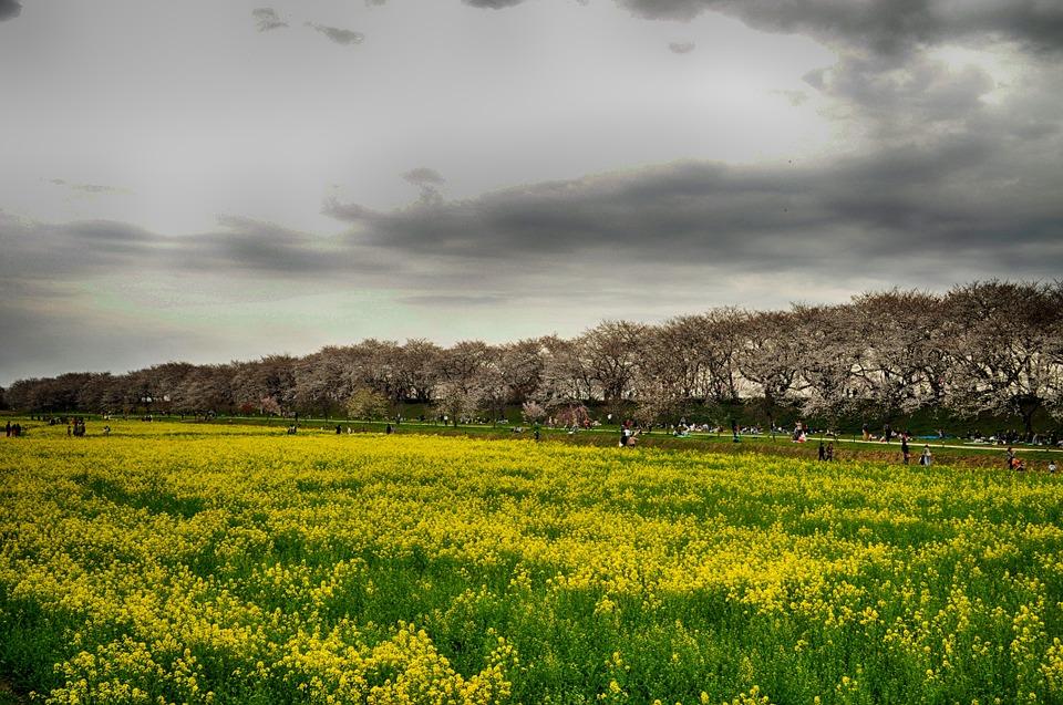 Free photo Japan Flowers Gongendo Park Cherry Trees.
