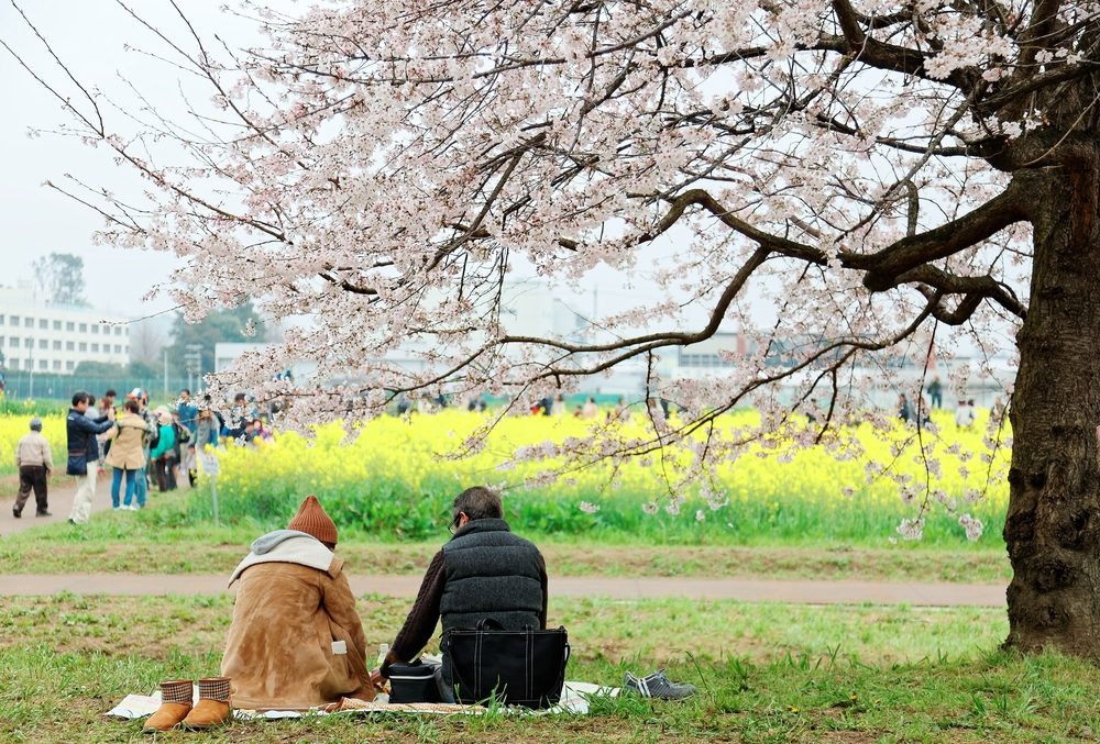 Relax Next to Cherry Blossoms Trees at Gongendo Park.
