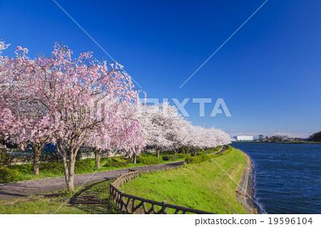 cherry blossom, gongendo tsustumi, gongendo park.
