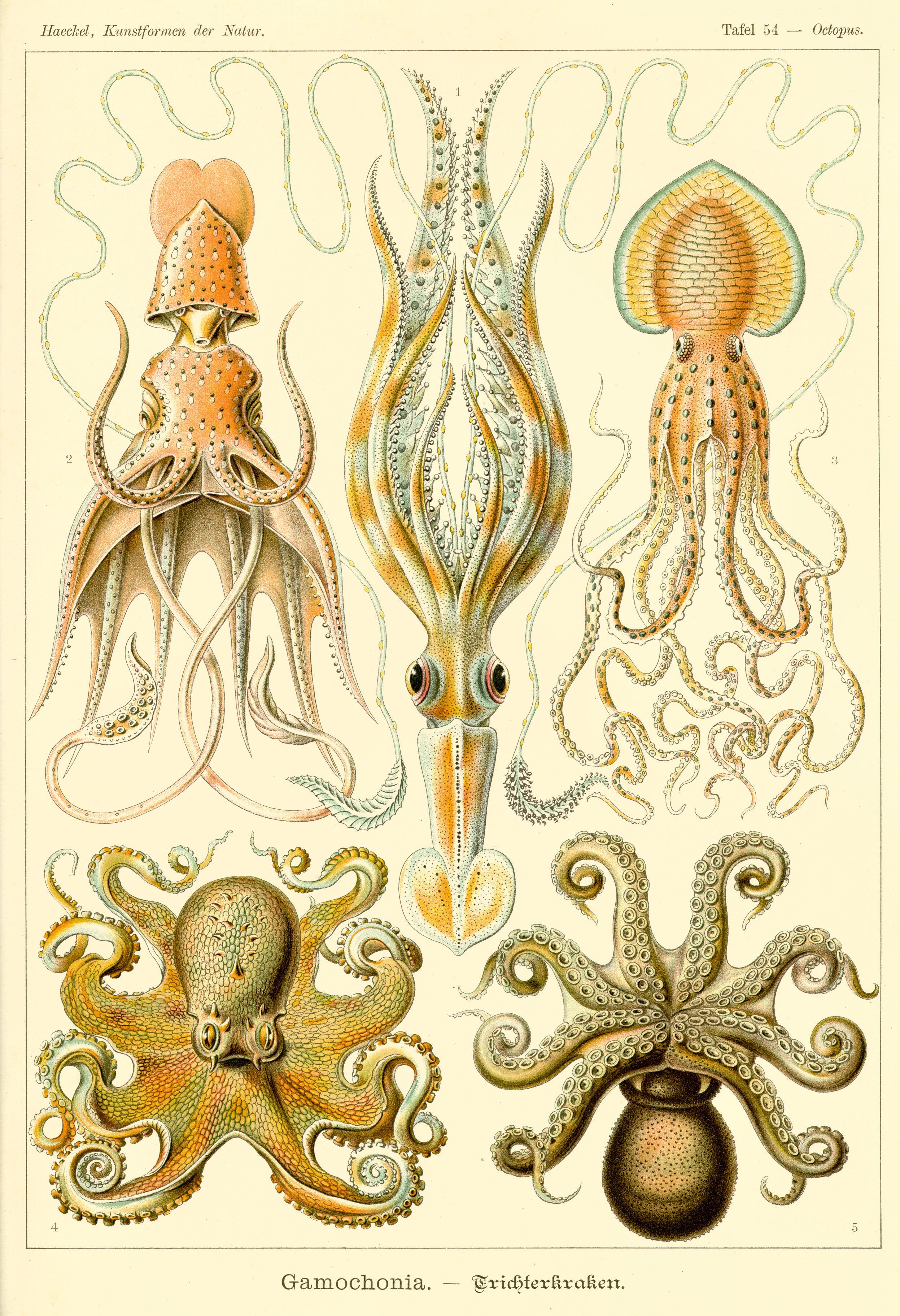 Cephalopoda.