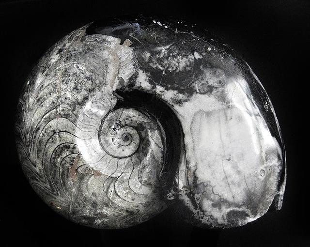 Free photo Fossil Permian Goniatitida Stone Ammonite Devonian.