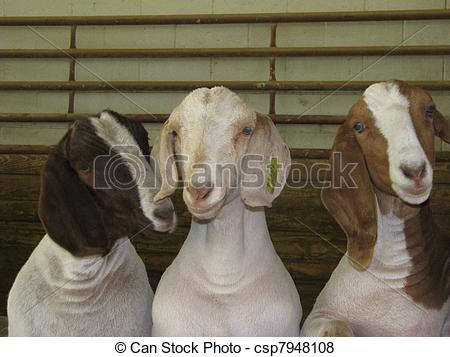 Pictures of Goofball Goats.