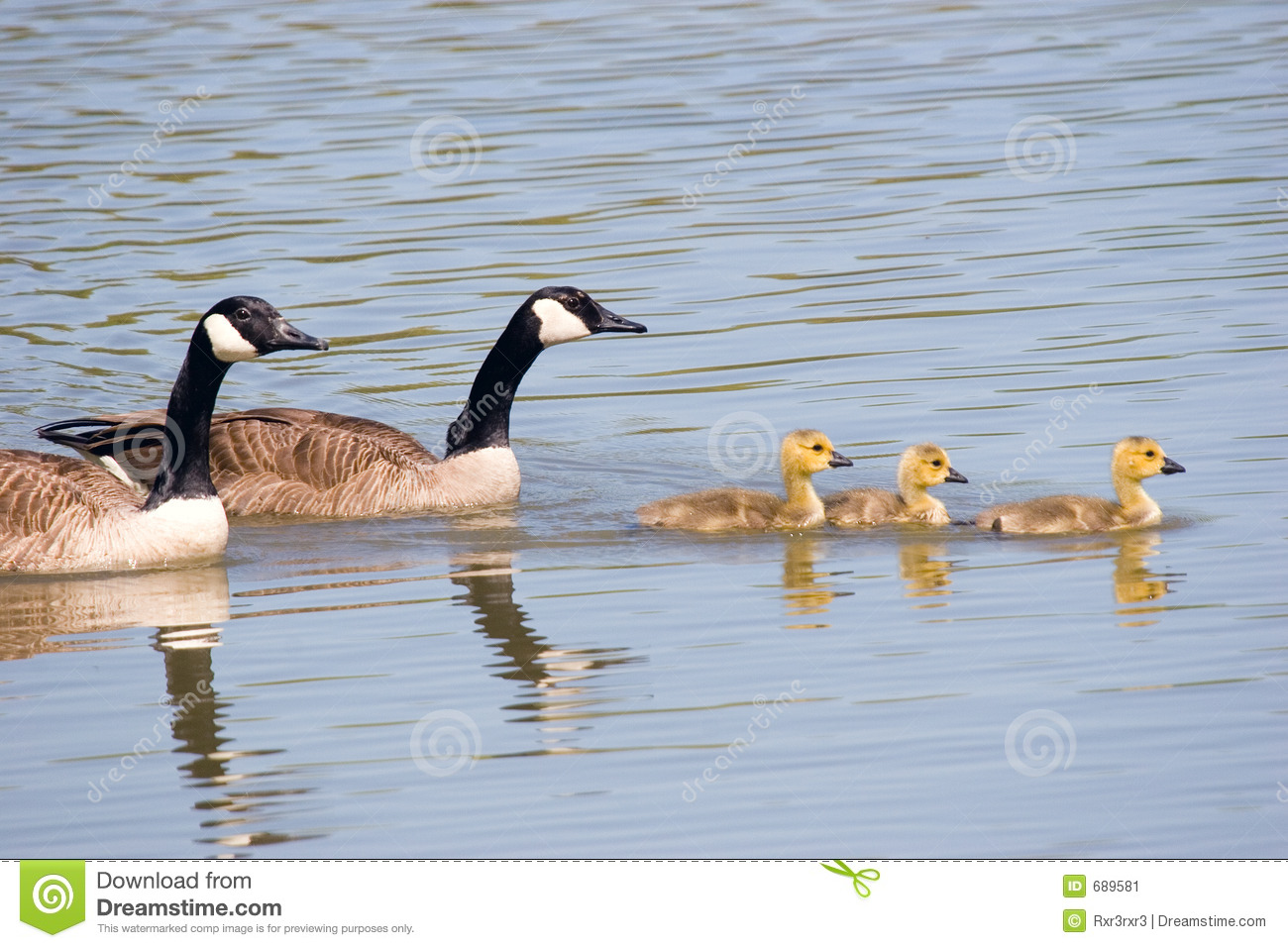 Canada Goose Family Swim Stock Image.