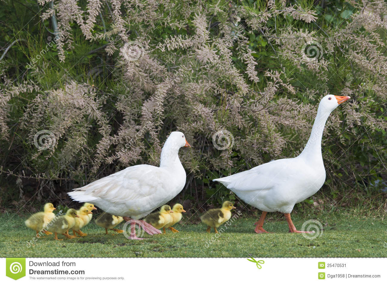 The Goose Family Stock Image.