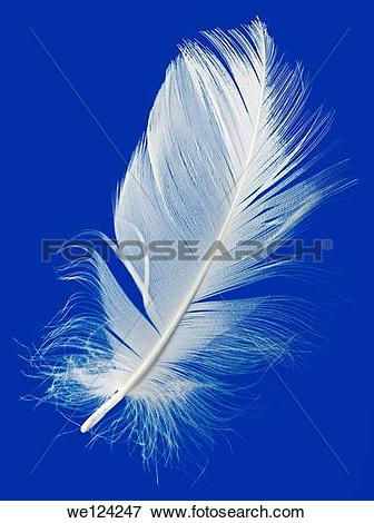 Picture of Goose Feather Isolated on Blue Background. we124247.