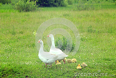 Flight Of White Geese On A Meadow Stock Photo.