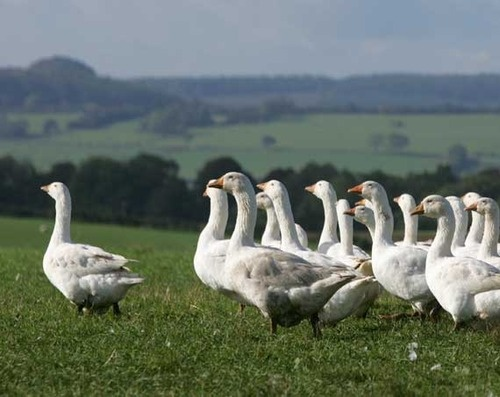 1000+ images about Domestic Geese on Pinterest.