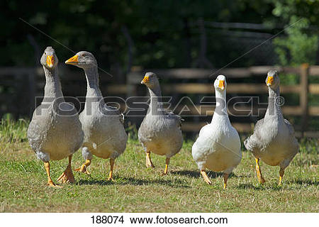 Stock Photo of Domestic Goose (Anser anser domesticus). Five geese.