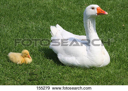 Stock Photograph of domestic goose with fledgling on meadow 155279.