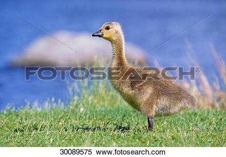 Stock Image of Canada Goose cub.