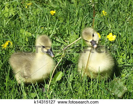 Picture of sweet little geese on green meadow with yellow flowers.