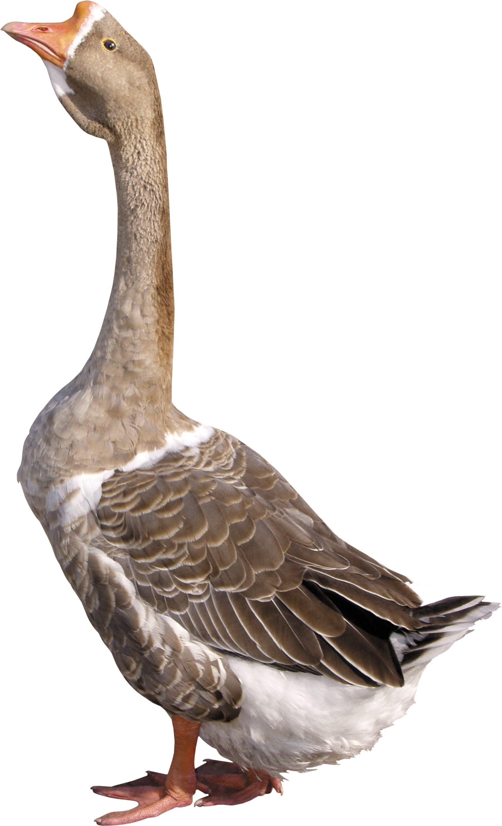 Goose PNG images free download.