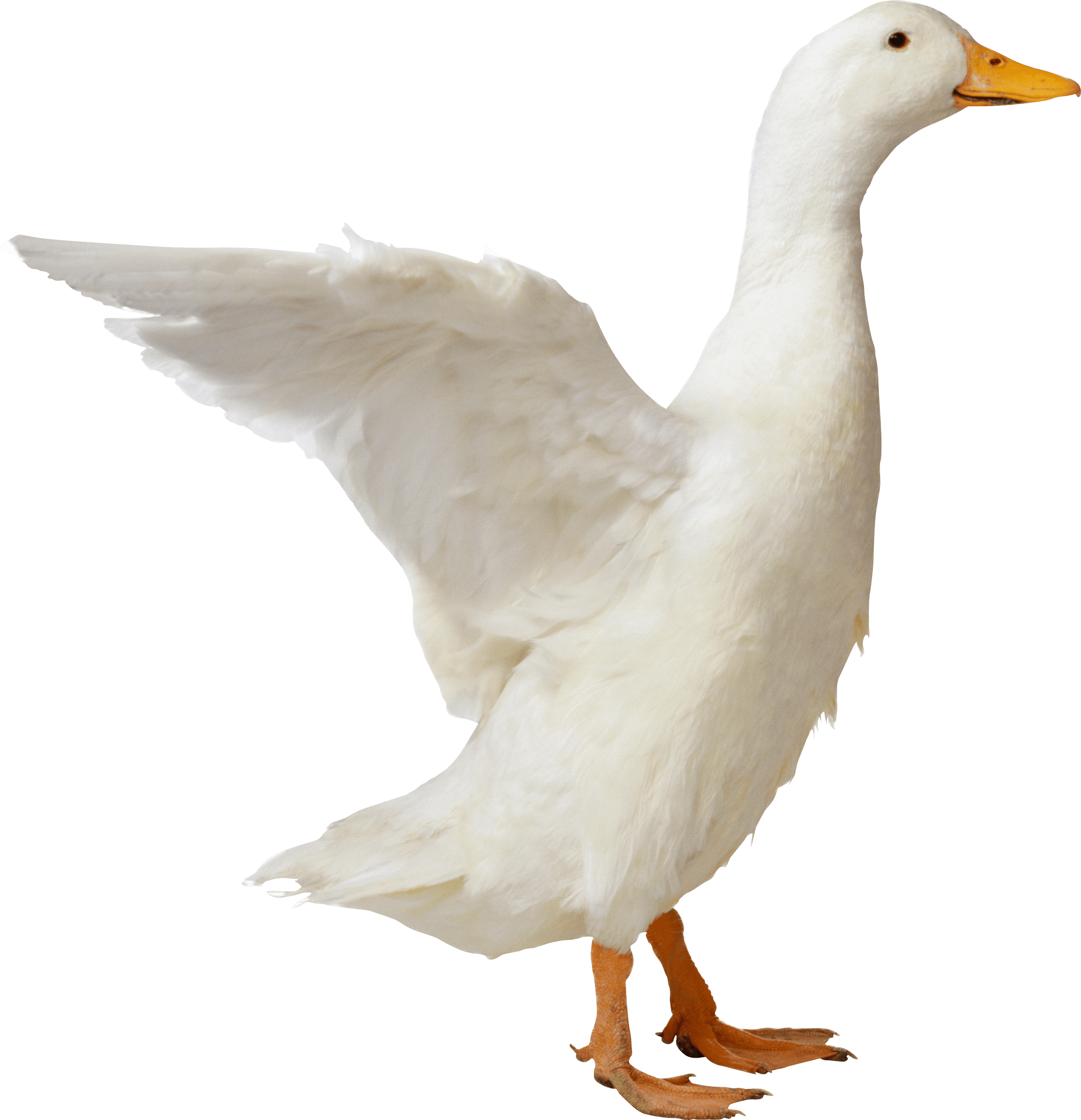 Goose Sideview transparent PNG.