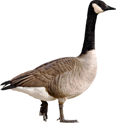 Goose png pictures #33511.