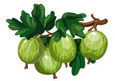 Gooseberries Stock Illustrations.