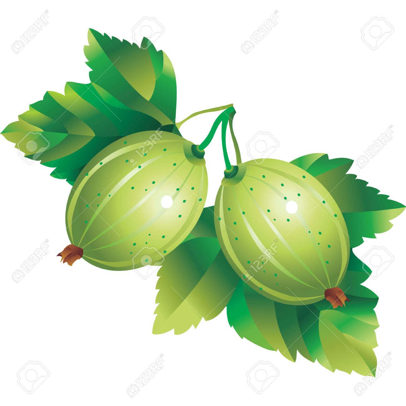 Vector Image Of Gooseberry Royalty Free Cliparts, Vectors, And.
