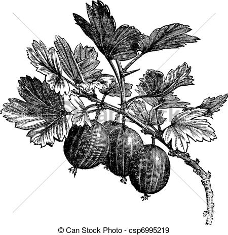 Gooseberry Clip Art and Stock Illustrations. 860 Gooseberry EPS.