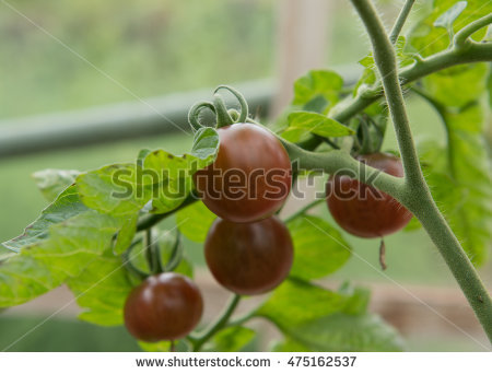Solanum Lycopersicum Stock Photos, Royalty.