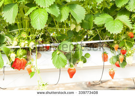 Culture Greenhouse Strawberry Strawberries Stock Photo 85536928.