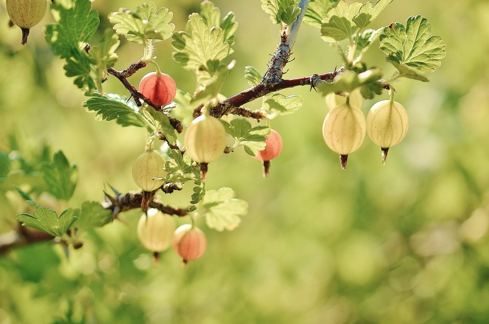 Free photo Gooseberry Spring Red Naked Stalks Poppy Fruits.