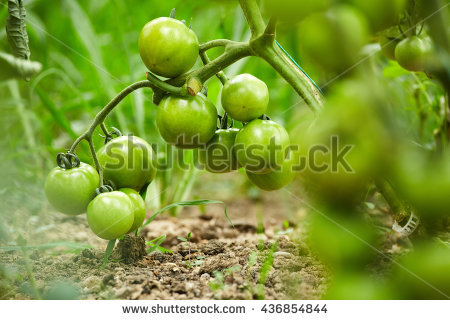 Tomatoes Ripening Vine Stock Photos, Royalty.