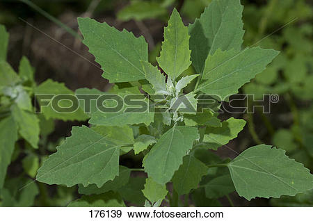 Stock Photograph of Lambs Quarters, Melde, Goosefoot (Chenopodium.