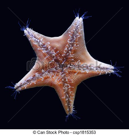Stock Photos of Goose foot starfish (Asterina pectinifera.