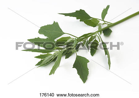 Stock Photography of Lambs Quarters, Melde, Goosefoot (Chenopodium.